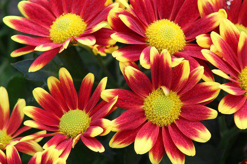 Red Flower, Yellow, Chrysanthemums, Chrysanthemum