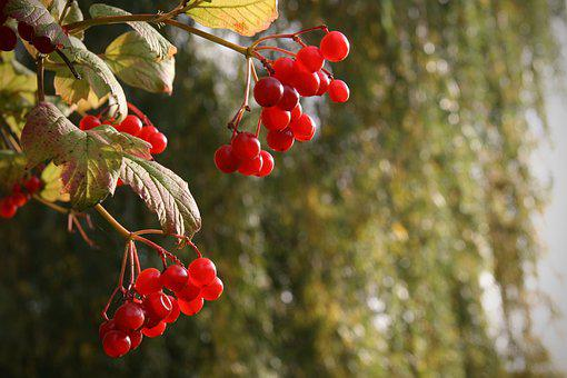 Berries, Red, Common Snowball