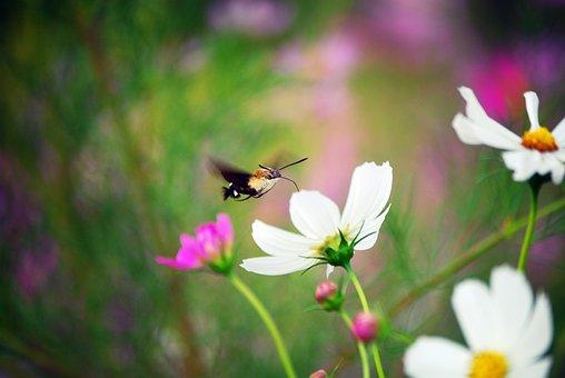 Cosmos, Flowers, Hummingbird, Cosmea, Nature, Plants