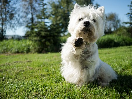 Dog, White, Cute, Portrait, Animals, Grass, Lawn, Park