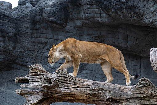 Lioness, Cat, Queen, Big Cat, Africa, Dangerous, Safari