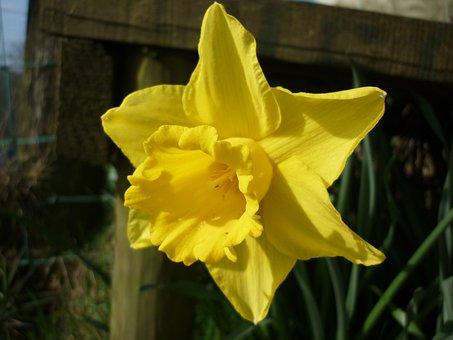 Daffodil, Yellow, Flower, Spring, Daffodils, Easter