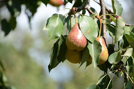 Pear, Tree, Fruit, Foodstuffs, Nutrition, Healthy, Eat
