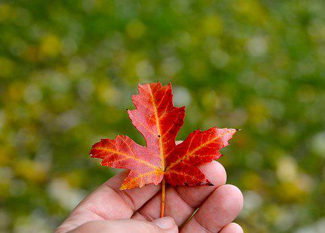Hand, Finger, Autumn Leaf, Person, Skin, Hold Tight