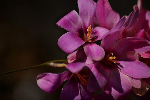 Ixia, Magenta, Flower, Plant, Bloom, Flora, Spring