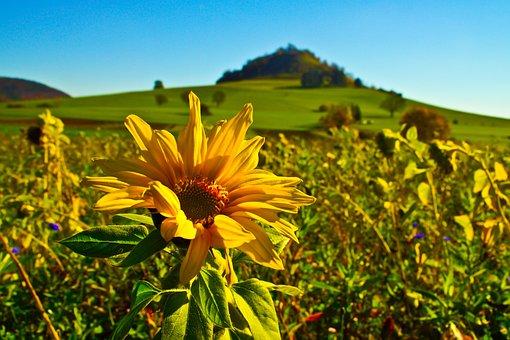 Sunflower, Flower, Field, Nature, High Carp, Meadow