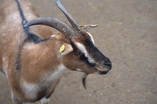 Goat, Domestic Goat, Horns, Farm, Goat's Head, Creature