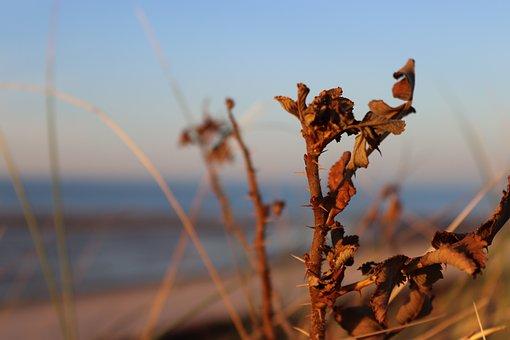 Holly, Spiekeroog, Island, North Sea Coast, North Sea