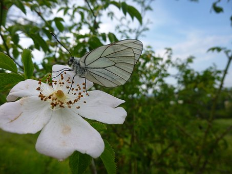 Gassed, Butterfly, Aporia Crataegi, Insect, Nature
