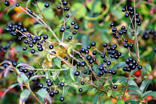 Privet, Bush, Autumn, Nature, Green, Berries