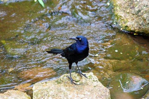 Dallas Texas Grackle, Grackle, Bird, Nature, Wildlife
