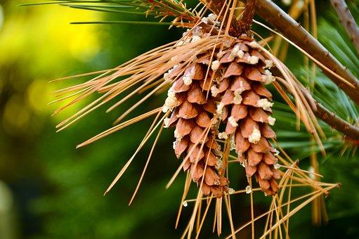 Tap, Pine Cones, Strobilus, Seeds, Needles, Conifer