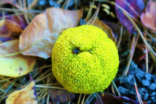 Orange A Liar, Maclur To Pomifera, Plant, Nature