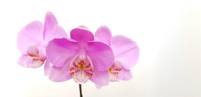 Flower, Orchid, Pink, Phalaenopsis, Bloom, Flowers