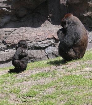 Gorilla And Baby, Photo Taken At Animal Kingdom