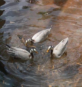 Ducks, Photo Taken At Animal Kingdom, Orlando Fl