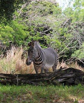 Zebra, Photo Taken At Animal Kingdom, Orlando Fl