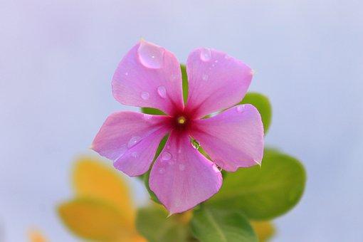 Rose, Pink, Pink Flower, Macro, Nature, Pink Rose