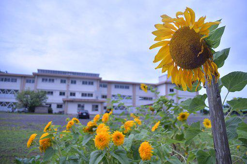 Sunflower, Flowers, Yellow, Natural, Summer, Plant