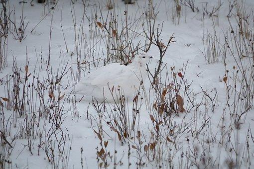 Ptarmigan, Arctic, Snow, Camouflage