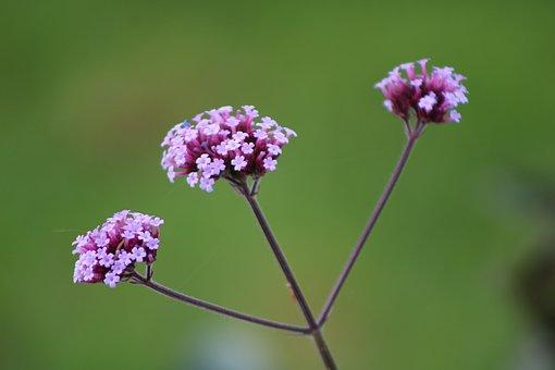 Verbena Bonariensis, Verbena, Plant, Blossom, Purple