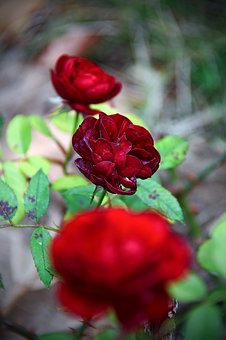 Red, Rose, Love, Romanticism, Flower, Autumn Rose
