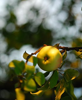 Apple, Apples, Fruit, Summer, Nature, Garden, Sad