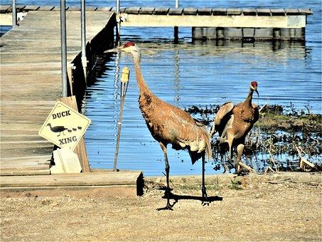 Sandhill Cranes, Two Sandhill Cranes At The Dock