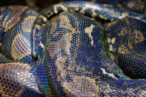 Snake Skin, Python, Net Python, Snake, Reptile