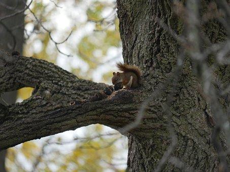 Squirrel, Squirrel Eating, Nuts, Wildlife, Mammal, Tree
