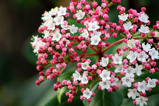 Blossom, Small, Small Flower, White, Pink, Bud, Bloom