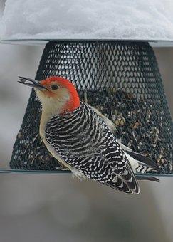 Woodpecker, Wildlife, Nature, Animal, Winter