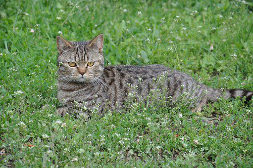 Cat, A Cat Lying On The Grass, Cat Is