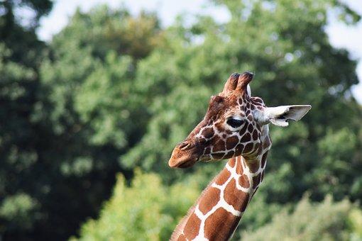 Giraffe, Africa, African, Animal, Beautiful, Big, Cage