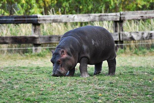 Hippo, Hippopotamus, Africa, African, Aggressive