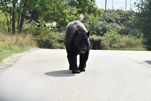 Bear, Beautiful, Big, Aggressive, Animal, Black, Break