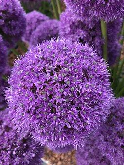 Flower, Purple, Nature, Allium, Blossom, Spring, Violet