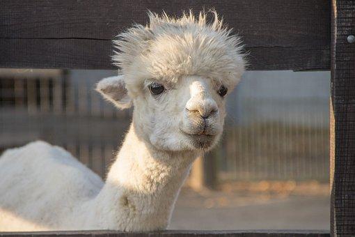 Lama, White, Animal, Fur, Head, Nature, Alpaca
