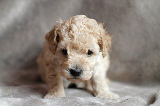 Puppy, Poodle, Dog, Animal, Cute, Adorable, Animals
