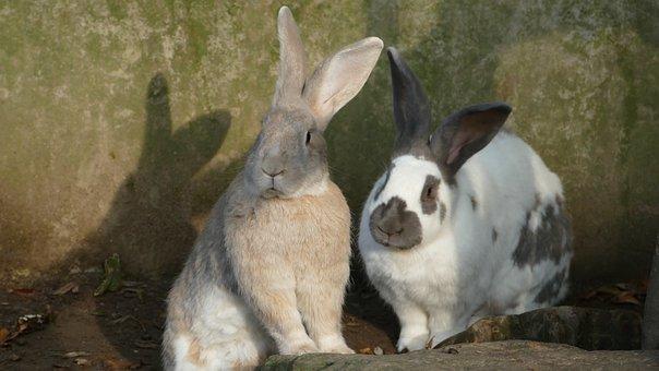 Rabbit, Rodent, Animal, Mammal, Ears, Nature, Bunny