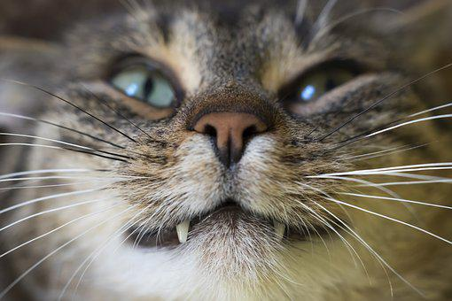 Cat, Animal, Animals, Fur, Macro, Tooth, Home, Mustache