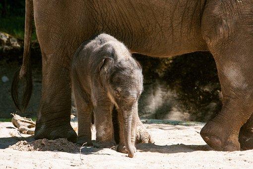 Elephant, Young Animal, Mammal, Animal, Animal World
