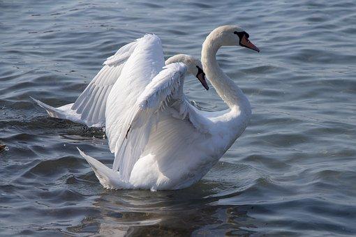 Swan, Water, Nature, Animal World Of, Lake, Animal