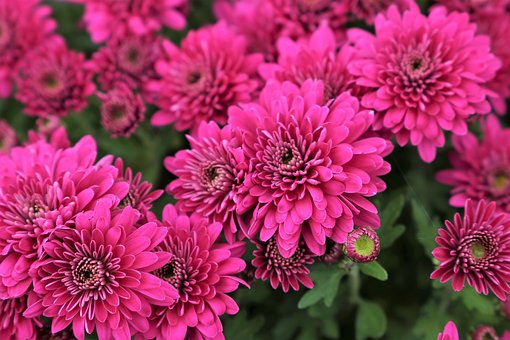 Purple Chrysanthemum, Plant, Flower, Bloom, Autumn