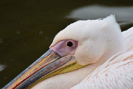 Pelican, Animal, Beak, Beautiful, Bill, Bird, Feather