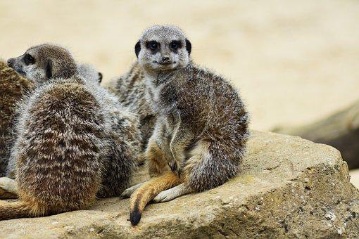 Meerkat, Africa, African, Animal, Beautiful, Botswana