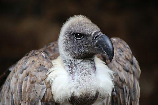 Vulture, Bird Of Prey, Scavengers, Plumage