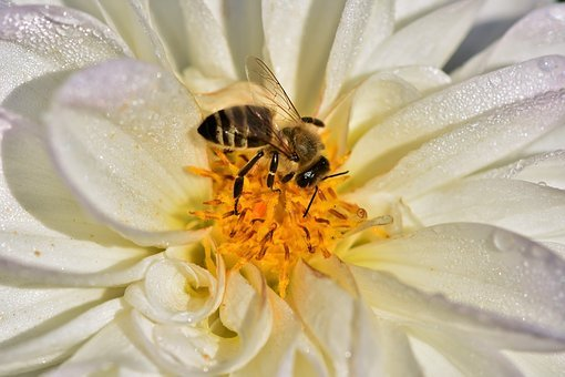Dahlia, Blossom, Bloom, Flower, Bee, Honey Bee, Pollen