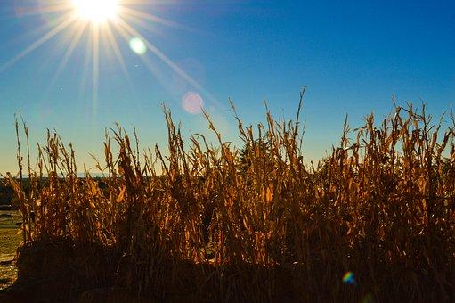 Boise Botanical Garden, Corn, Corn Field, Agriculture