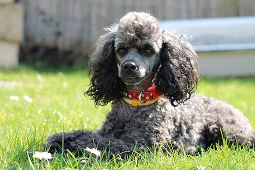 Dog, Poodle, Miniature Poodle, Black, Gray, Silver